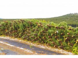 Управление Россельхознадзора по Республике Башкортостан поясняет ситуацию с вырубкой молодых сосен в Белорецком районе.